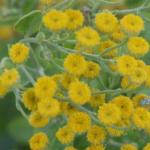 Balsamblad